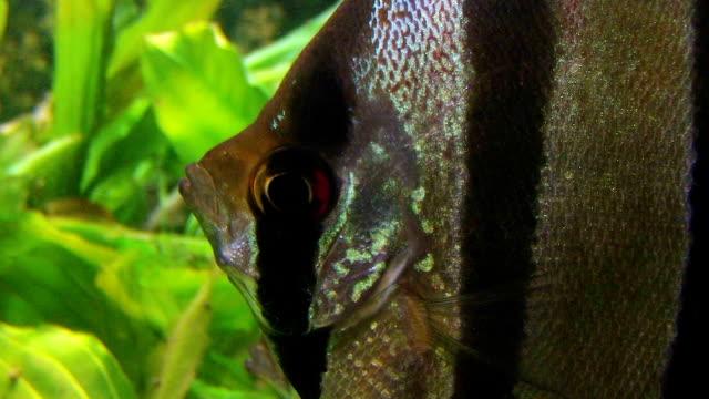 vidéos et rushes de poisson ange - nageoire caudale