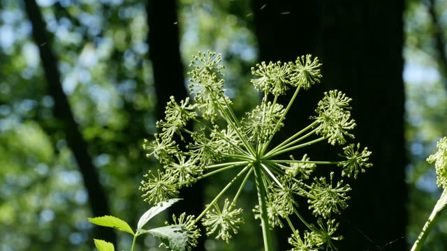 Angelica umbrella inflorescence close-up in the sun