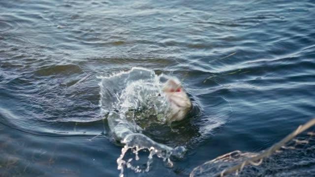 sportfiskare fångade en stor gädda på en snurrande stav i slow motion - meta bildbanksvideor och videomaterial från bakom kulisserna