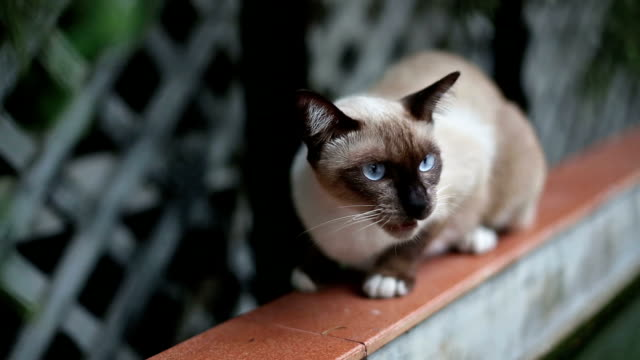Angry Aggressive Hissing Siamese Cat video