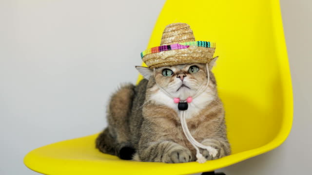 Angry cat with a straw hat on its head is lying on a chair and looking at camera