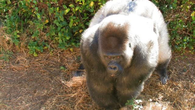 Mirando enojado gorilla - vídeo