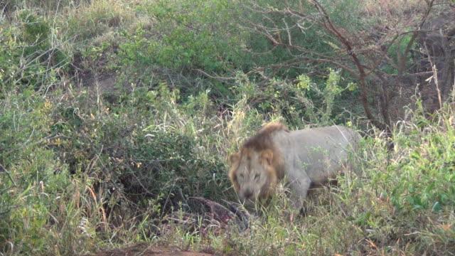 怒り雄ライオンます。 ビデオ