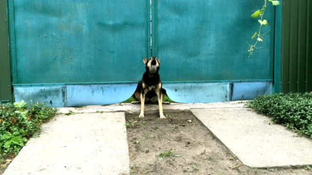 Angry mongrel dog barks loudly and guards the blue gate into her yard.