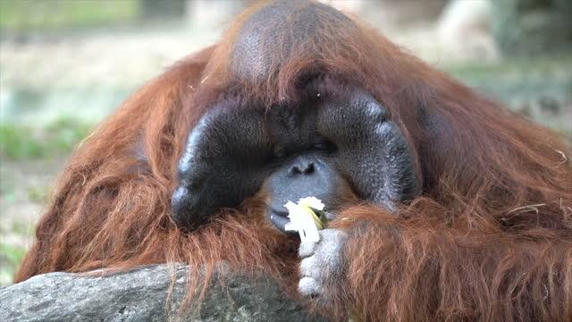 Angutan male Eating food with pleasure