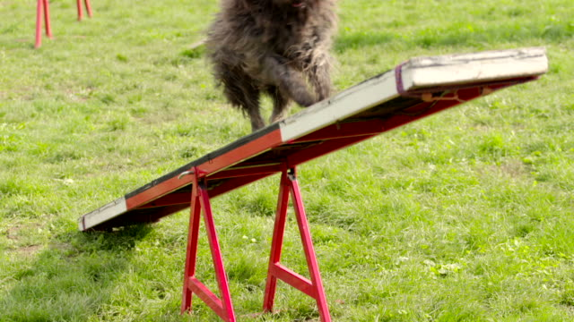 Animal agility with dog running on hurdle video