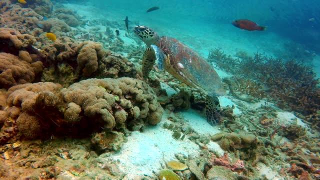 Animal Behaviour - Critically Endangered Species Hawksbill Sea Turtle (Eretmochelys imbricata). video