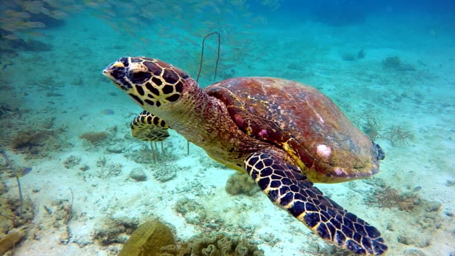 animal behaviour - critically endangered species hawksbill sea turtle (eretmochelys imbricata). - climate change video stock e b–roll