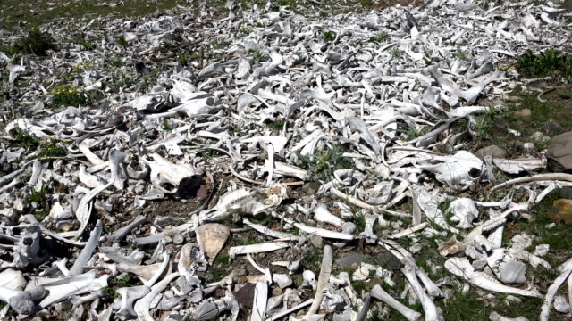 Animal bones scattered on meadow Animal bones scattered on meadow mojave desert stock videos & royalty-free footage