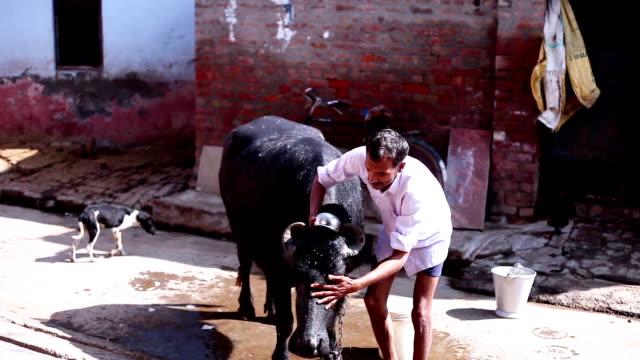 animal care in rural india - харьяна стоковые видео и кадры b-roll