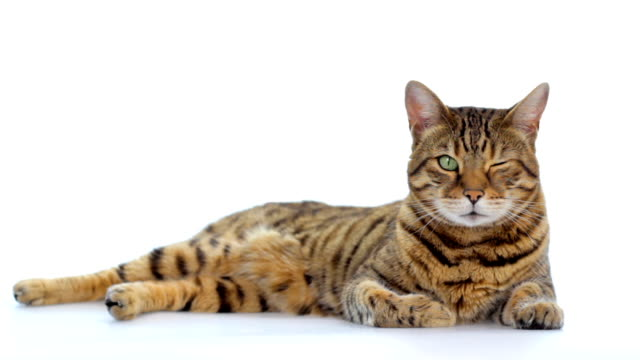 vídeos de stock e filmes b-roll de animal cinemagraph (photo in motion) cat winking - piscar