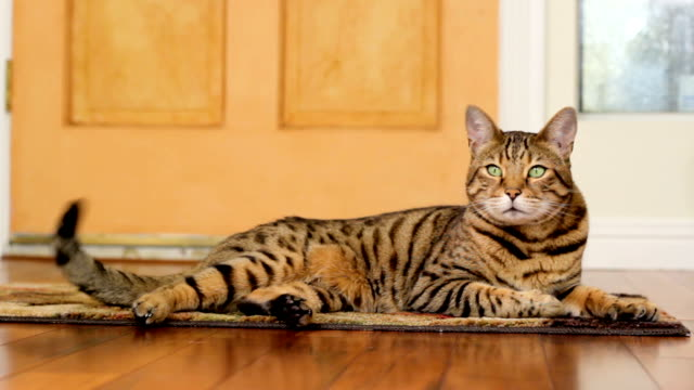 Animal Cinemagraph (photo in Motion) of a Cat wagging a tail Cinemagraph of a Bengal cat lying on the floor waving his tail tail stock videos & royalty-free footage