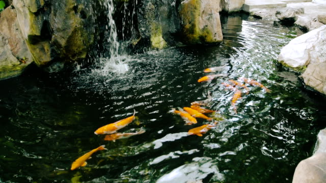 animal cinemagraphs : koi fish swim in pond - пруд стоковые видео и кадры b-roll