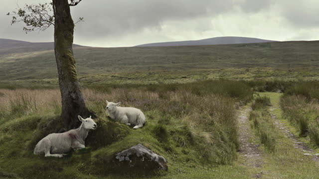 animal cinemagraphs - sheep chewing ireland wicklow mountains - ssaki kopytne filmów i materiałów b-roll