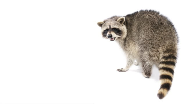 Top 80 Racoon Stock Videos And Royalty Free Footage Istock