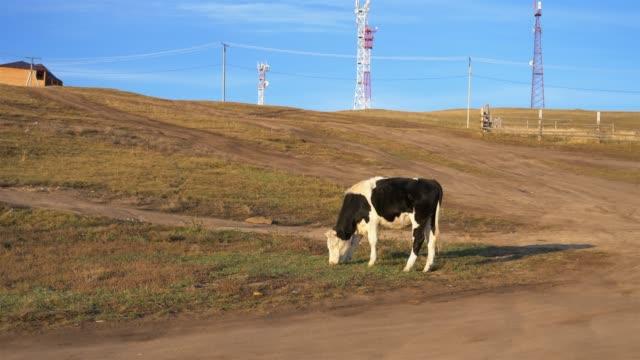 vídeos de stock e filmes b-roll de animal cow with blue sky in the olkhon island, irkutsk russia - irkutsk