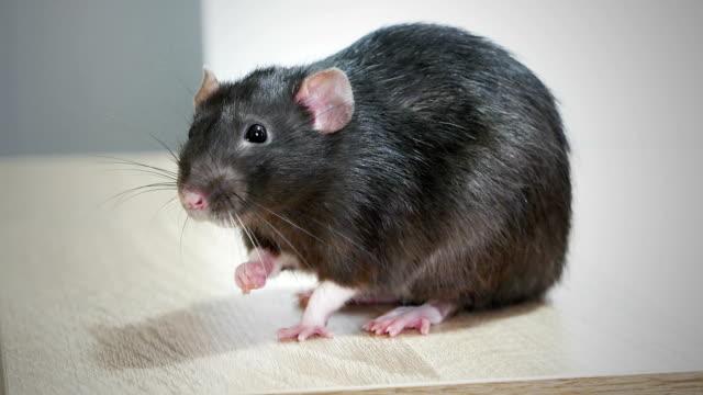 vídeos y material grabado en eventos de stock de primer plano del animal doméstico rata gris - animales de granja