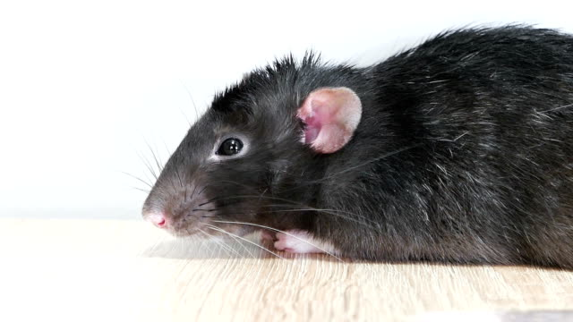 Animal domestic gray rat close-up video
