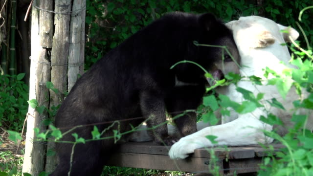 hd: animal friendships white tiger and bear - bear stock videos and b-roll footage