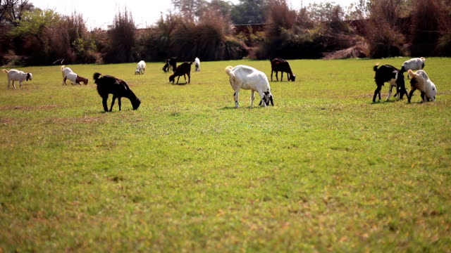 Animal grazing HD1080p: Group of animals grazing in the nature. haryana stock videos & royalty-free footage
