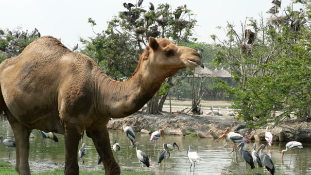 Animal Worldwide Camel And Freshwater Bird Video