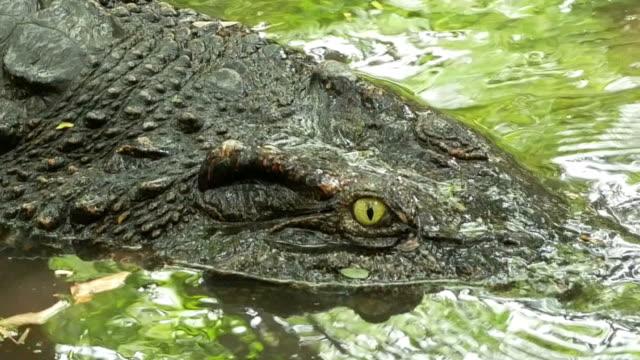 animal worldwide , crocodile hiding head under water video