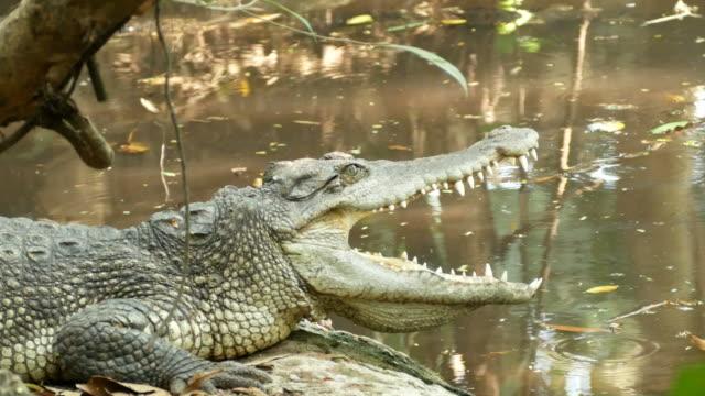 animal worldwide , crocodile open mouth video
