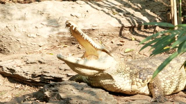 animal worldwide , crocodile open mouth animal worldwide ,  crocodile open mouth mouth open stock videos & royalty-free footage