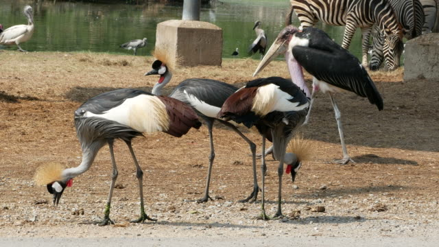 animal worldwide ,  Freshwater Bird , African-crowned crane video