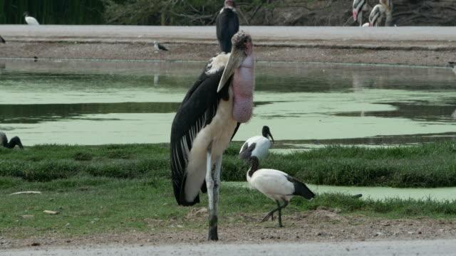 animal worldwide ,  Freshwater Bird , Marabou stork video