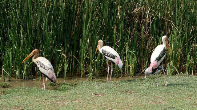 animal worldwide ,  Freshwater Bird , Painted stork video
