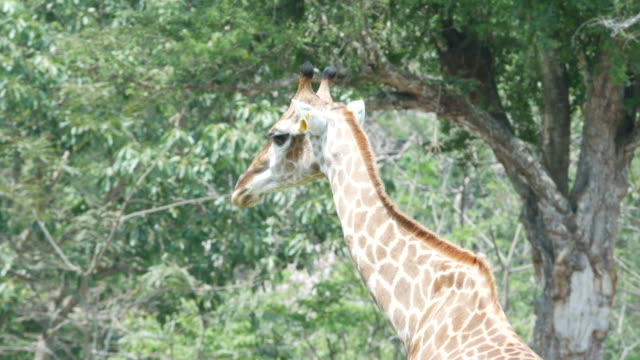 animal worldwide , giraffe video