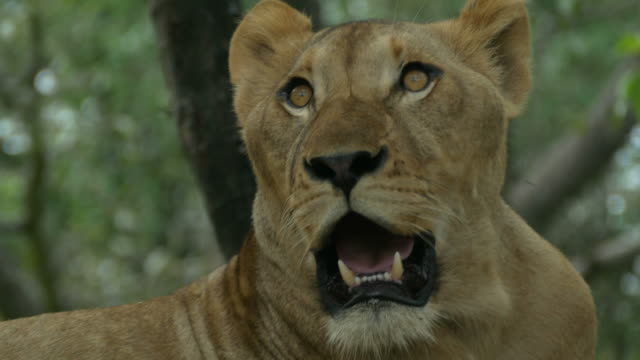 stockvideo's en b-roll-footage met dier wereldwijd, leeuw - leeuwin