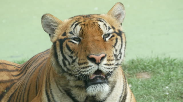 animal worldwide , tiger video