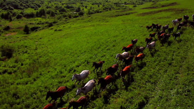 'Animals' Aerial Running horses video