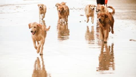 vídeos y material grabado en eventos de stock de golden retriever animales perros en la playa (super cámara lenta) - un animal