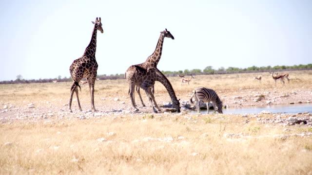 LS Animals Drinking Water In African Savannah video