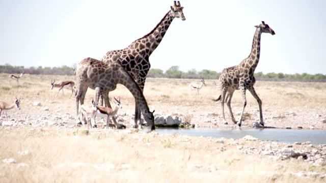 LS Animals Drinking Water In Savannah video