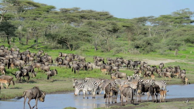 Animals Moving in the Great Migration video