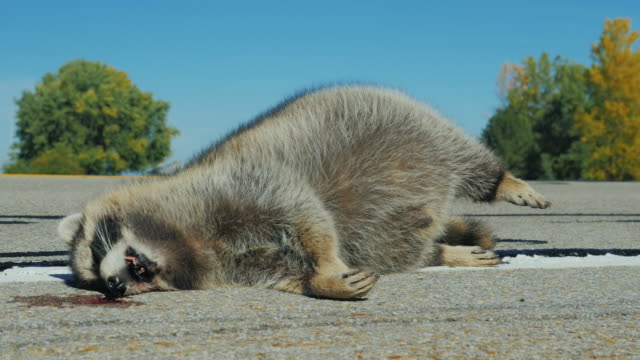 Animals - victims of clashes with cars on the road. Large fluffy raccoon was hit by a car and lying dead on the road video
