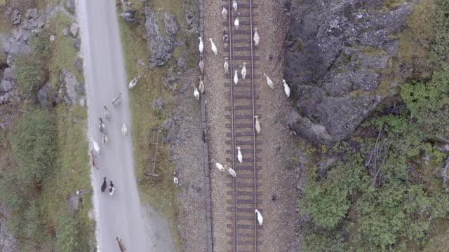 djur som går längs ett järnvägsspår som hotar mötande tåg - derail bildbanksvideor och videomaterial från bakom kulisserna