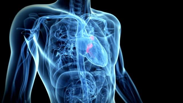 animation heart valves video