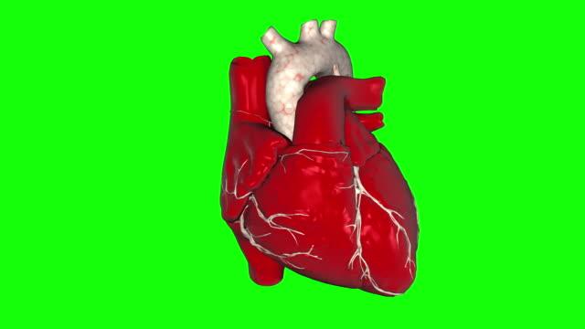 vídeos de stock e filmes b-roll de 3d animation of a beating human heart looped alpha footage included. - coração humano