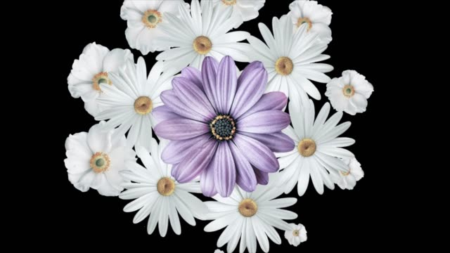Animation of bouquet of white daisies moving around and forming a circle with a large purple flower in the center. Black background Animation of bouquet of white daisies moving around and forming a circle with a large purple flower in the center. Black background. hippie stock videos & royalty-free footage