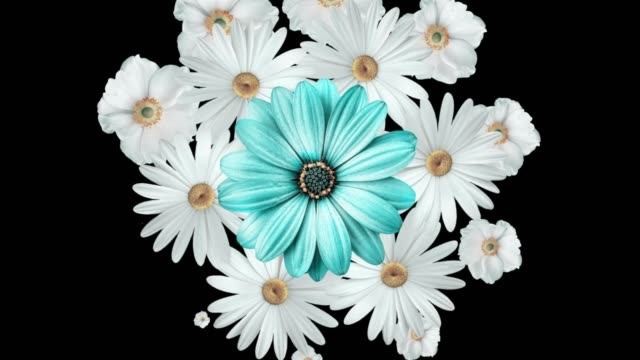 Animation of realistic flower bouquet with white daisies moving around with a large blue flower in the center. Black background
