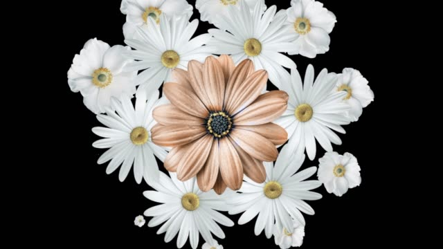 Animation of realistic white daisies moving around with a large brown flower in the center. Black background