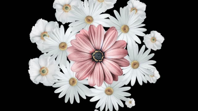 animation of realistic white daisies moving around with a large pink flower in the center. black background. - узор калейдоскоп стоковые видео и кадры b-roll