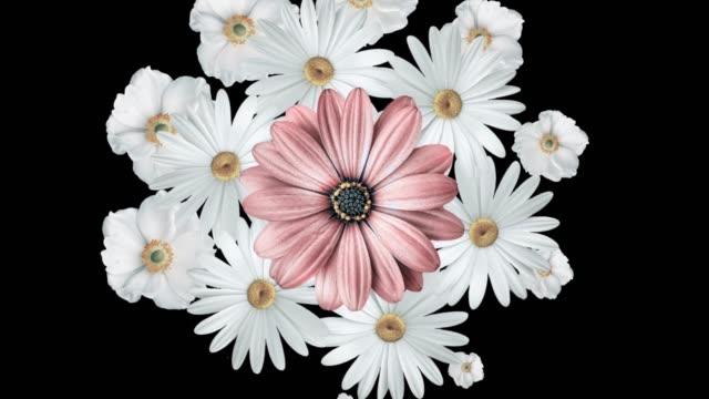 animazione di margherite bianche realistiche che si muovono con un grande fiore rosa al centro. sfondo nero. - caleidoscopio motivo video stock e b–roll