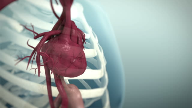 vídeos de stock e filmes b-roll de 3d animation of the human cardiovascular system, 4k ultra hd. - ventrículo do coração