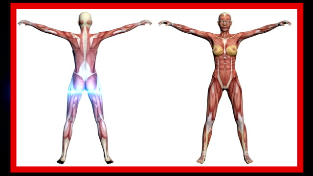 animation - scan of Human Anatomy , Female Muscles made in 3d software video